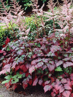 Astilbe - Colour Flash False Spirea