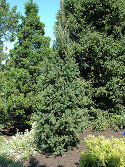Picea - Columnar Norway Spruce