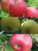 Malus - Combination Apple