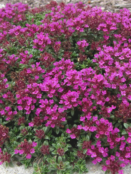 Thymus - Creeping Red Thyme