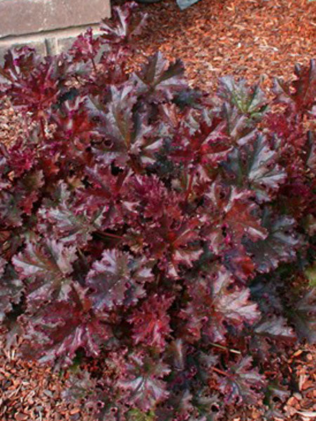 Heuchera - Crimson Curls Coral Bells