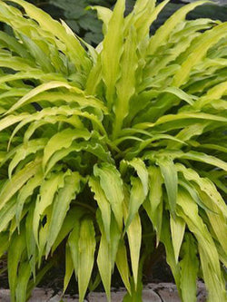 Hosta - Curly Fries Hosta