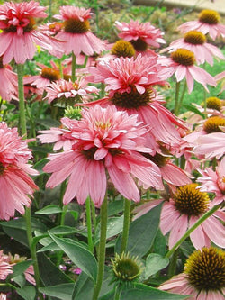 Echinacea - Double Decker Coneflower