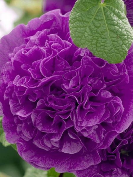 Alcea - Double Purple Hollyhock