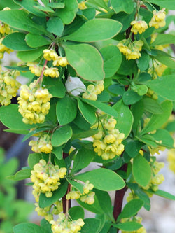 Berberis - Emerald Carousel Barberry