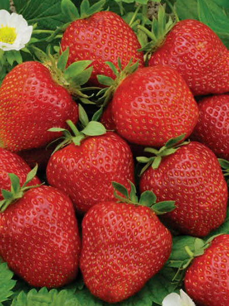 Fragaria - Eversweet Strawberry