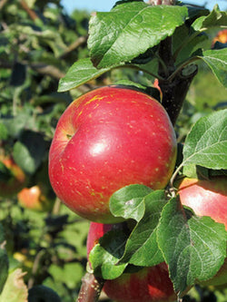 Malus - Fall Red Apple