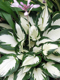 Hosta - Fire & Ice Hosta