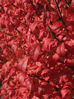 Euonymus - Fire Ball Burning Bush