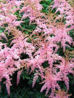Astilbe - Flamingo False Spirea