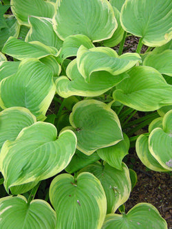 Hosta - Fragrant Bouquet Hosta