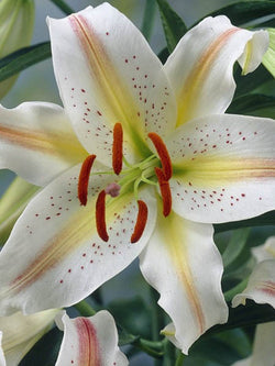 Lilium - Garden Party Oriental Lily