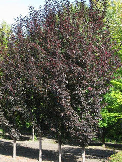 Malus - Gladiator Flowering Crab 15 Gallon 8-10 Feet