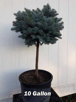 Picea - Top Grafted Globe Blue Spruce