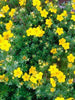 Potentilla - Gold Star