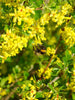 Ribes - Golden Flowering Currant