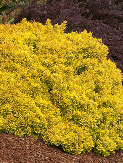 Berberis - Gold Nugget Barberry 2 Gallon