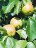 Pyrus - Golden Spice Pear