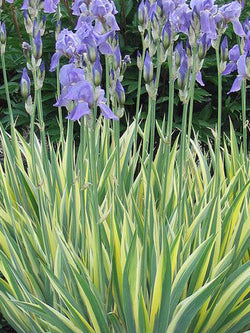 Iris, Sweet - Golden Variegated
