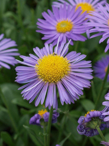 Aster - Goliath Alpine Aster