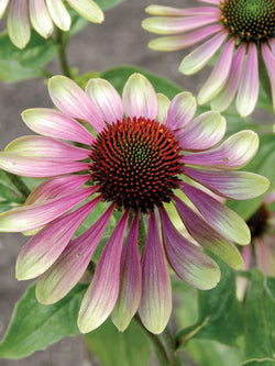 Echinacea - Green Envy Coneflower