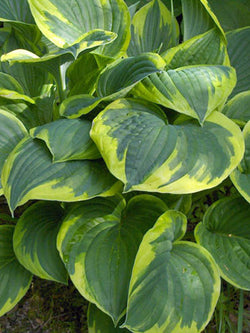 Hosta - Green-Yellow Hosta