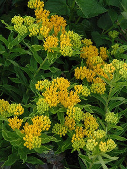 Milkweed - Hello Yellow