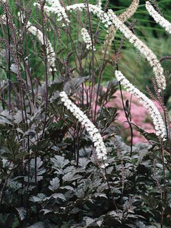 Actaea - Hillside Black Beauty Bugbane/Snakeroot
