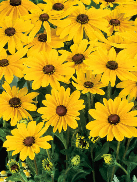 Rudbeckia - Indian Summer Black-Eyed Suzan