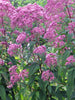 Eupatorium - Joe Pye Weed