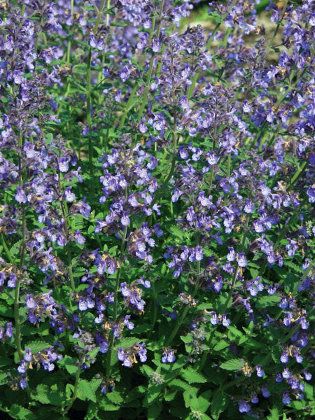 Nepeta - Junior Walker Catmint