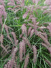 Pennisetum - Karley Rose Dwarf Fountain Grass