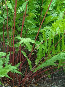 Athyrium - Lady In Red Fern