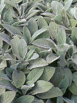 Stachys - Lamb's Ear