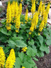 Ligularia - Little Rocket Ligularia