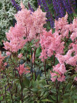 Astilbe - Lollipop False Spirea