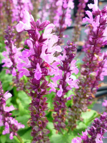 Salvia - Lyrical Rose Sage