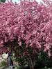 Malus - Makamik Flowering Crab 5 Gallon 4-6 Feet