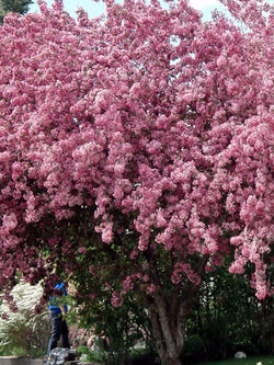 Malus - Makamik Flowering Crab 15 Gallon 8-9 Feet