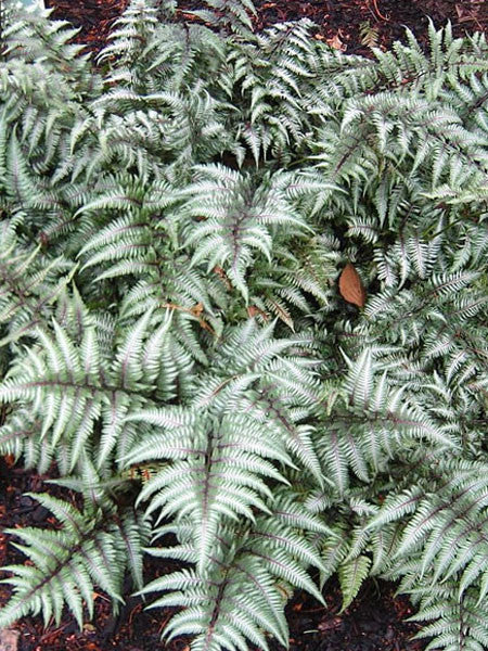 Athyrium - Metallicum Japanese Painted Fern