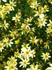 Coreopsis - Moonbeam Tickseed