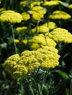 Achillea - Moonshine Yarrow