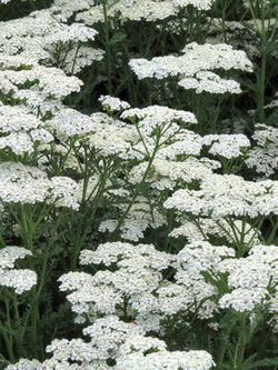 Achillea - New Vintage White Yarrow