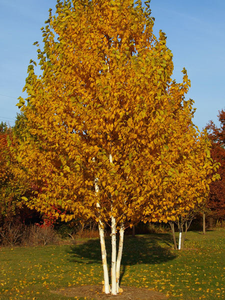 Landscaping With Paper Birch Trees : Betula clump paper birch calgary plants garden