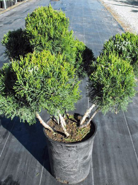 Juniperus - Pom Pom Topiary Juniper