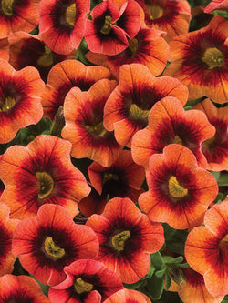 Calibrachoa - Superbells® Punch