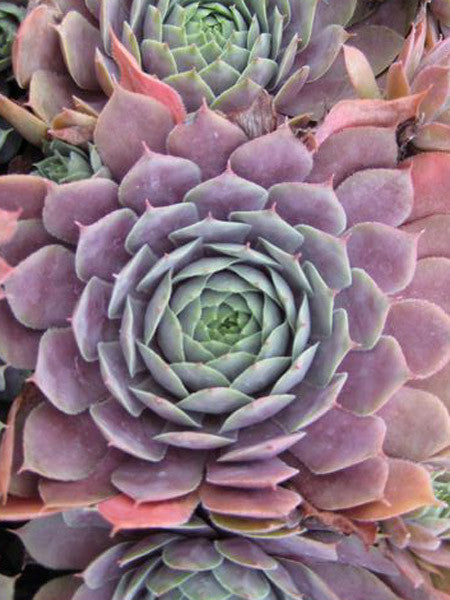 Sempervivum - Purple Beauty Hens and Chicks