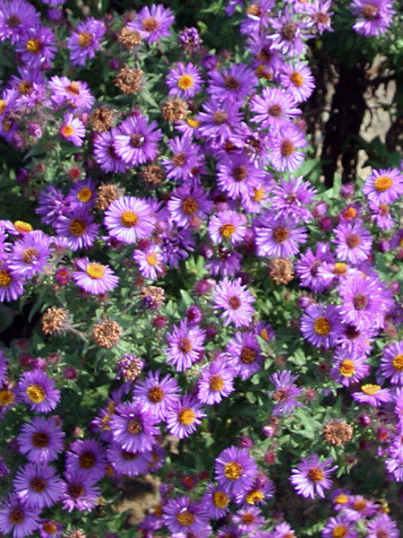 Aster - Purple Dome Fall Aster