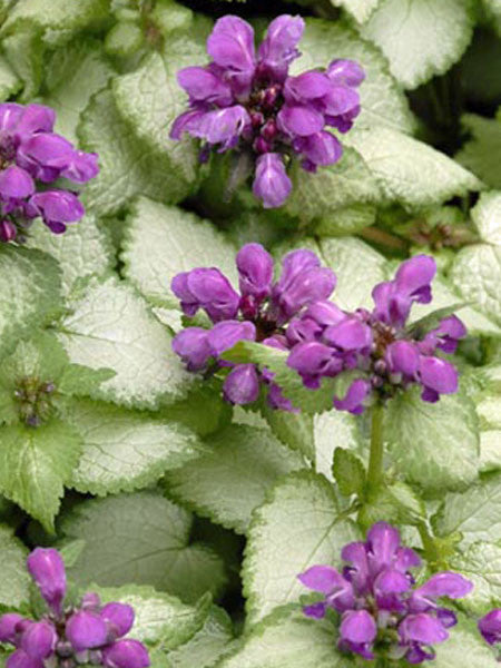 Lamium - Purple Dragon Lamium