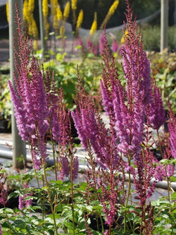 Astilbe - Purple